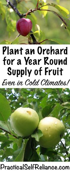 How to Plant an Orchard for a Year Round Supply of Fruit ~ Even in Cold Climates ~ Zone 4 Orchard
