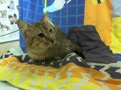 TONNY (A1600425) I am a male brown tabby Domestic Longhair.  The shelter staff think I am about 5 years old.  I was found as a stray and I am available for adoption. —  at Miami Dade County Animal Services Medley, FL.