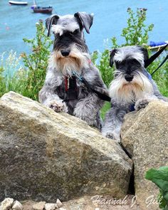 Miniature Schnauzer they look like the two old men on that Duck Dynasty family.