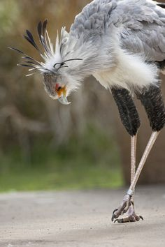 The first glimpse of a secretary bird can send a mind reeling with wonder. Those legs…that beak…that piercing gaze. And, if the bird has its crest feathers erect, oh my, that headpiece! Claiming the title of World's Tallest Raptor, the secretary bird's li All Birds, Little Birds, Birds Of Prey, Love Birds, Beautiful Birds, Animals Beautiful, Exotic Birds, Colorful Birds, Exotic Pets