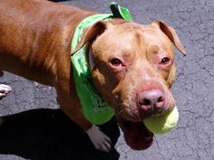 SUPER URGENT Manhattan Center My name is VINNY. My Animal ID # is A1074492. I am a male red and white am pit bull ter and american staff mix. The shelter thinks I am about 3 YEARS old. I came in the shelter as a SEIZED on 05/21/2016 from NY 10472, owner surrender reason stated was BITEPEOPLE. **DOH HOLD 05/21/16**