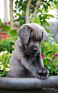 Charcoal Lab Puppy ♥ I want this puppy please!!