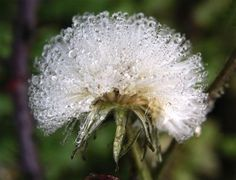 a beautiful dandelion covered by hoar - frost Stock Photo