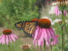 Bring color to your garden all summer and into fall with these long-blooming perennials. http://www.diynetwork.com/how-to/outdoors/gardening/10-long-flowering-perennials?soc=pinterest