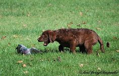 Preacher is a retriever more so a Chesapeake Bay Retriever. Chesapeakes are known for their hunting ability. They are bred with natural hunting ability on board but they also need many months/years…