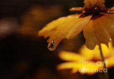 A water drop on a yellow flower