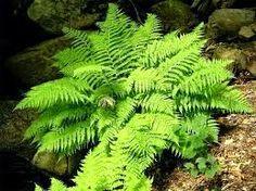 LJEKOVITO BILJE I ZDRAVLJE:  Paprad je veoma lijepa biljka. Koja je bogata krupnim zelenim listovima. Saznajte sve o biljci paprad ??? ljekovitobiljezasvebolesti.blogspot.com
