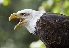 Bald eagle by De todo un poco on Creative Market