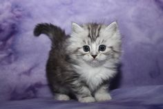 ragamuffin kittens for sale, ragamuffin kittens, ragamuffin cats, ragamuffin breeders, ragamuffin kittens in pennsylvania Ragamuffin Kittens, Baby Kittens, Cats And Kittens, Cutest Kittens Ever, Cat Toilet Training, Cute Cat Wallpaper, Cat Bath, Fancy Cats, Raining Cats And Dogs