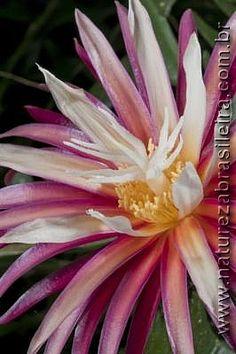 Flor de cactu