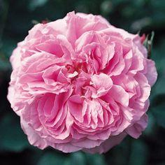 rose madame lauriol de barny blütezeit - Google-Suche