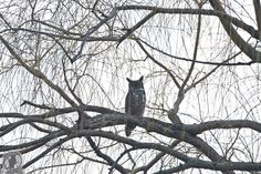 Great Horned owl male mimics father's behavior pattern