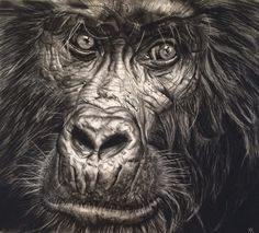 Mountain Gorilla by Violet Astor. Drawing. Available for Sale.