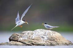 Little Tern by Limm yangmook on 500px