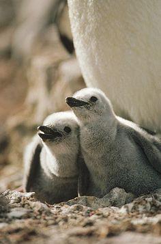 Chinstrap Penguin (Pygoscelis antarctica) twin chicks in nest, Nelson Island, South Shetland Islands, Antarctica