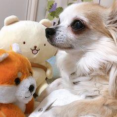 作戦会議 目線を合わせないナナです  #コッペくん #まねっこ豆シバ  #dekachiwa #チワワすきな人と繋がりたい #ちわすたぐらむ #チワワ大好き #chihuahua #チワワ Teddy Bear, Toys, Animals, Activity Toys, Animales, Animaux, Clearance Toys, Teddy Bears, Animal