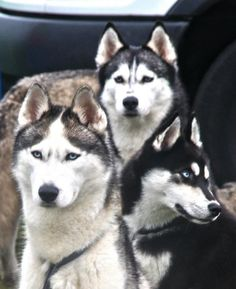 Huskies most beautiful dogs in the whole world Malamute Husky, My Husky, Husky Puppy, Husky With Blue Eyes, Animals And Pets, Cute Animals, Most Beautiful Dogs, Snow Dogs, My Animal