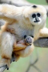 A New Baby Gibbon Swings Into Brookfield Zoo - ZooBorns Primates, Mammals, Animals And Pets, Baby Animals, Funny Animals, Cute Animals, Strange Animals, Funny Cats, Beautiful Creatures