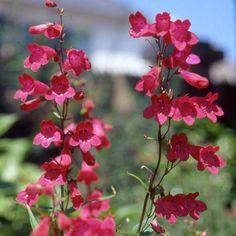 PENSTEMON 'Schoenholzeri' (Galane) : Bien que les cultivars ne soient pas d'une rusticité à toute épreuve, leur floraison éclatante les classe parmi les meilleures plantes de plates-bandes. Terre ordinaire, drainée. Supporte la sécheresse. Touffes buissonnantes. Grandes fleurs tubulées rouge rubis.