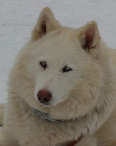 7/13/15 Meet Christine, a Petfinder adoptable Siberian Husky Dog | Minneapolis, MN | Christine is a special girl to MUSHR. She came to us from another shelter as she has special needs....