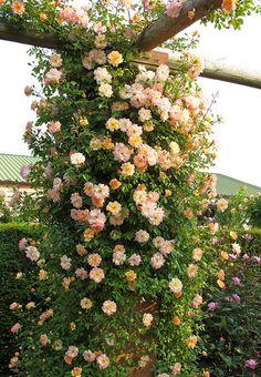Rambling rose 'Phyllis Bide' | by Susan R~