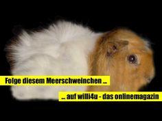 """Willi ist das Maskotchen vom Onlinemagazin """"willi4u"""" ... folge einfach diesem Meerschweinchen."""