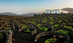 Vines on the lanzarote, the easternmost of the canaries, grow in the black soil of volcanic ash.