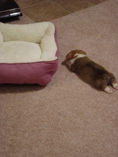 Too sleepy. Bed is too far. Corgi out.