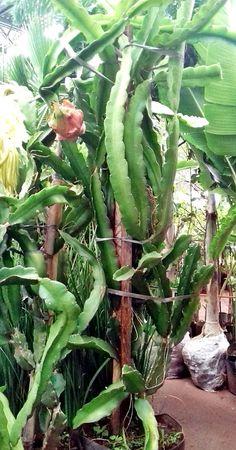 planta pitaya 4 Dragon Fruit Varieties, Como Plantar Pitaya, Entrada Frontal, Orchid Cactus, Cactus Y Suculentas, Farm Gardens, Succulents Garden, Fruit Trees, Bonsai
