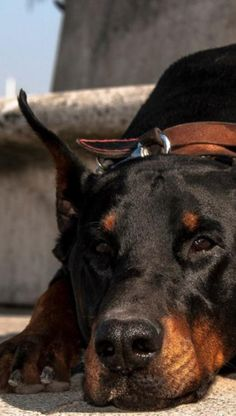 #DobermanPinscher - Re-pinned from Forever Friends Fine Stationery Favors http://foreverfriends.carlsoncraft.com