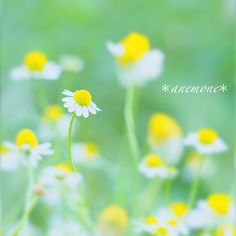 #カモミール#カミツレ#kamille #germanchamomile#flower