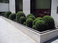 camilla hedge | Buxus (Buksbom) hedge and ball buxus