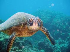 Viewing Green Sea Turtles on Kauai! Snorkeling is the best!