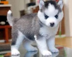 pomsky puppies - Google Search