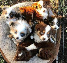 Find Out More On The Exuberant Australian Shepherd Pup And Kids Red Merle Australian Shepherd, Australian Shepherd Puppies, Aussie Puppies, Cute Dogs And Puppies, Toy Aussie, Doggies, Mini Aussie, Sweet Dogs, Blue Merle