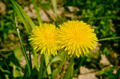 Dandelion Herb: History, Health Benefits, Nutrition Facts, Side Effects, Fun Facts Ornamental Plants, Salad Ingredients, Dandelions, Side Effects, Health Benefits, Fun Facts, Vitamins, Herbs, Nutrition