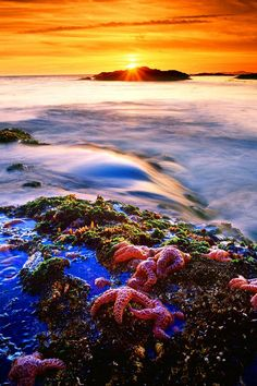 Starfish at Sunset - Pacifc Rim National Park, Vancouver Island, British Columbia - Alan Maudie