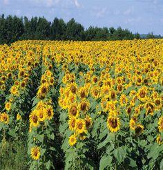 Royal Hybrid 1121 Sunflower (F1) Product ID: 2603