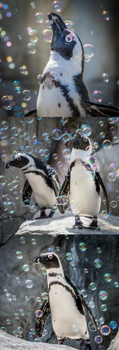 Penguins + Bubbles = pure joy (photos: Helene Hoffman)