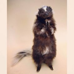 Posable soft mount taxidermy skunk. ~I am in love with these! My grandfather had a collection of Taxidermied animals and I remember going to his home, playing with them and wishing I could move their arms and legs. What a great idea <3
