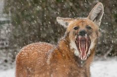 Lois, a male maned wolf, seems to be tired of the snowy weather. I know the composition isn't that good but he rarely gets close enough for fence less backgrounds so I had to react fast. Do you lik...