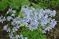 Image result for small blue flower ground cover woodland