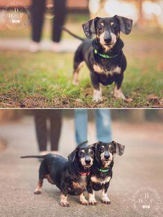 Sadie & Sawyer | East Orlando Pet Photography - Hot Dog! Pet Photography #dachshunds
