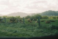 painterly-cows1