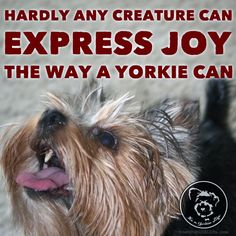We could learn a thing or two from our Yorkies, am I right?   Found at: https://itsayorkielife.com/we-could-learn-a-thing-or-two-from-our-yorkies-am/  #Yorkie,#YorkshireTerriers,#YorkshireTerrierLove,#ItsaYorkieLife