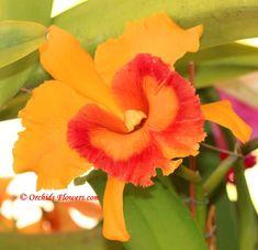 Rhyncholaeliocattleya Ploenpit Golden Delight