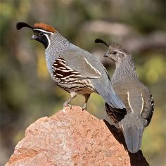 Gambel's Quail (was lucky enough to see one of these in the wild behind my friend's backyard in Arizona in April 2012)
