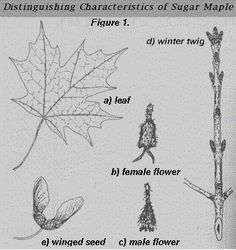 """The (mis)Adventures of a """"Born Again"""" Farm Girl: How to tap a maple tree (the basics)"""
