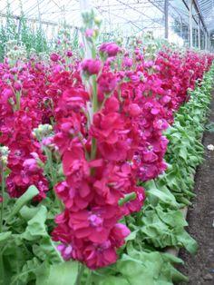 Matthiola Centum Red