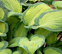 hosta  I have a small yard and lots of shade. Variegated perennials give a lot of bang for the buck.